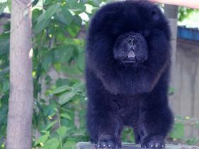 出售黑色6个月纯种赛级松狮幼犬公犬