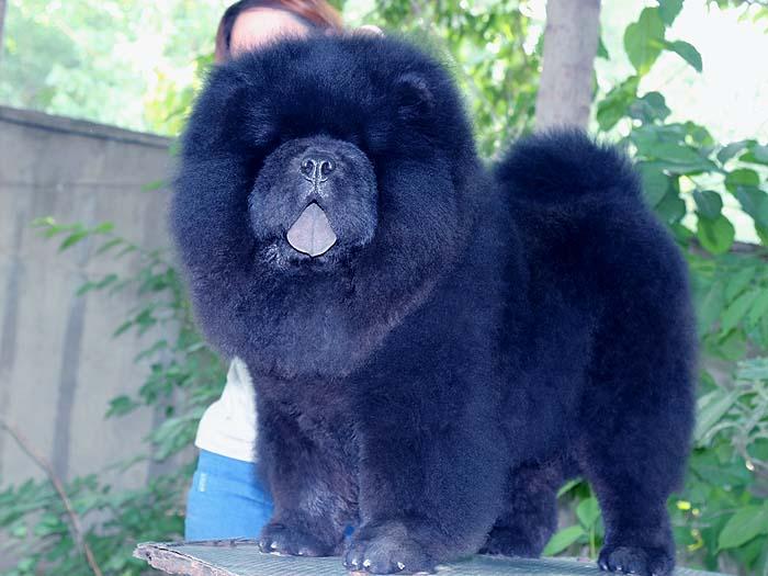 黑色6个月纯种赛级松狮幼犬公犬出售图片