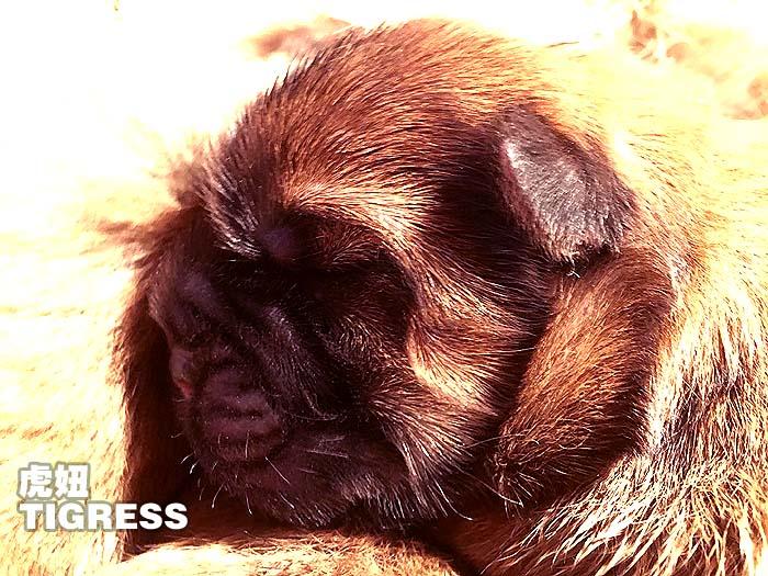 刚出生的冠军级松狮犬TIGERSS虎妞松狮母犬图片图片