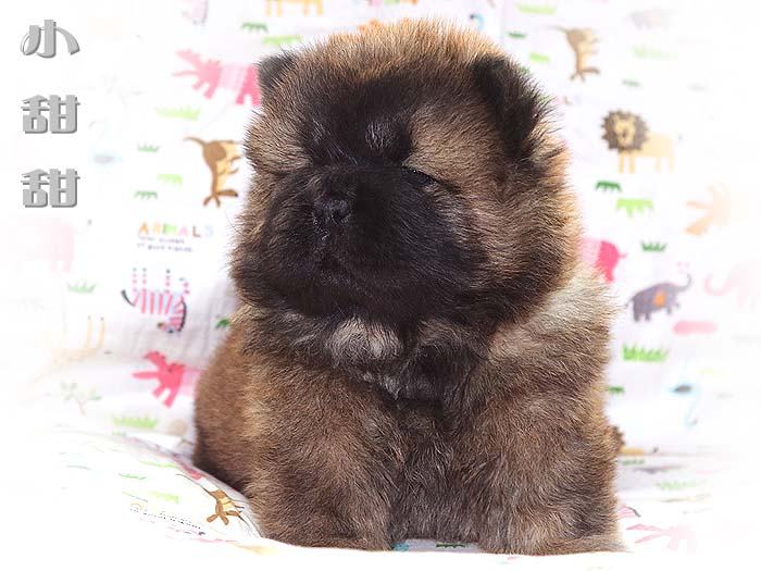 一窝红色赛级冠军级松狮幼犬图片照片1