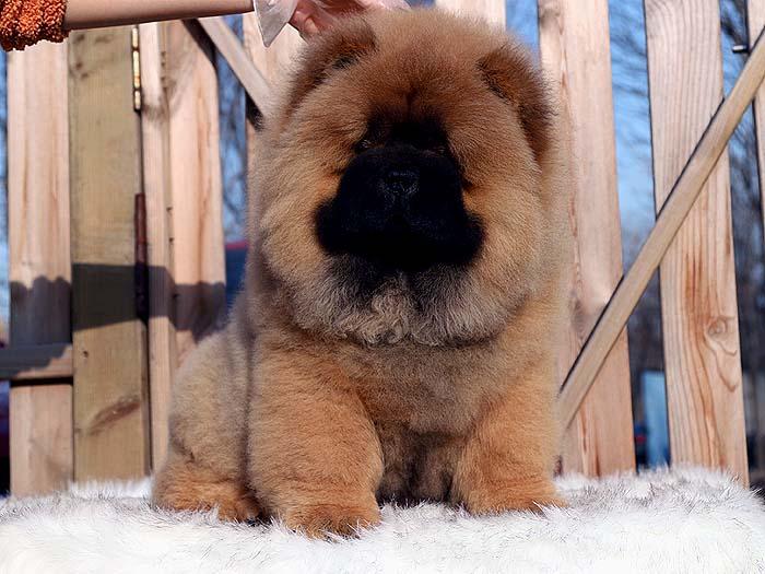 出售三个月深红纯种松狮公犬幼犬价格出售松狮犬价格16800元