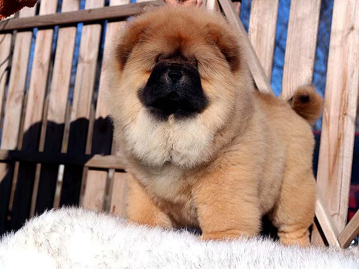 特价出售三个月纯种松狮犬母犬价格出售松狮犬价格9800元