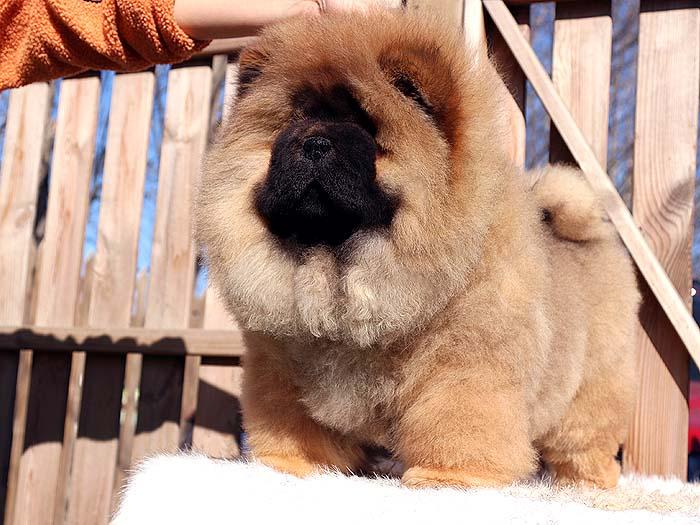三个月生红色冠军级纯种松狮犬母犬图片图片