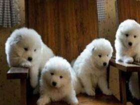 云南景洪想买狗就来狗场挑选纯种萨摩耶幼犬