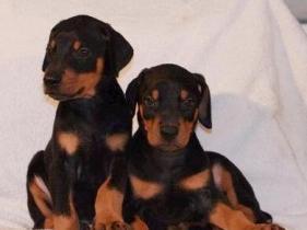 云南地区纯种杜宾犬价格 云南哪里卖杜宾犬图片