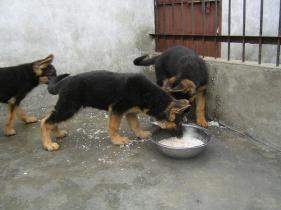 昆明哪里能买到纯种健康的德国牧羊犬图片