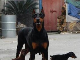 云南丽江本地狗场常年繁殖出售杜宾犬图片
