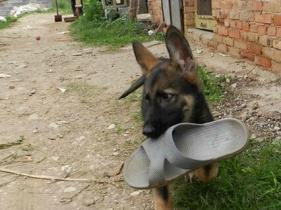 云南景洪哪里卖的狗好狗场的昆明犬纯种健康