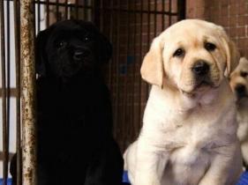 昆明卖拉布拉多昆明狗场出售纯种拉布拉多图片
