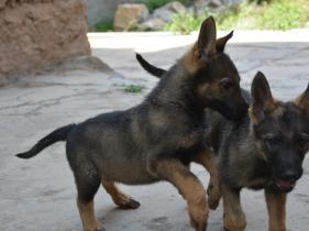 云南曲靖哪里有昆明犬卖狗场常年卖纯种昆明