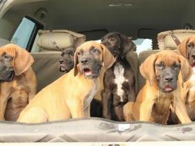 云南玉溪附近哪里有大丹犬卖狗场常年卖纯种