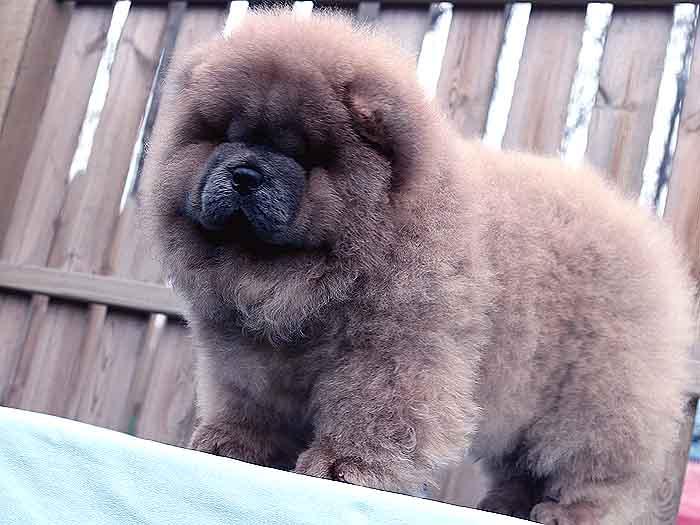 特价出售90天纯种松狮犬母犬幼犬价格出售松狮犬价格22800元